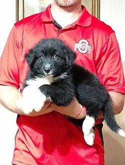 Gahanna Oh Border Collie Australian Shepherd Mix Meet Roscoe A Puppy For Adoption Http Www Adoptapet Com Pet 189363 Puppy Adoption Kitten Adoption Pets