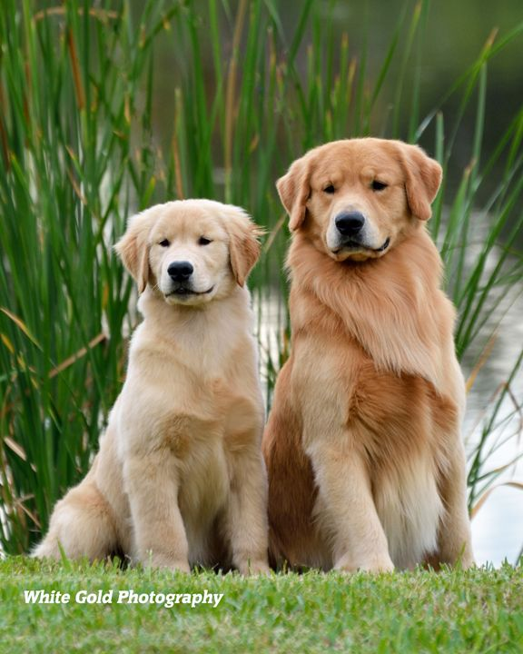 Golden Retriever Noble Loyal Companions Golden Retriever Best