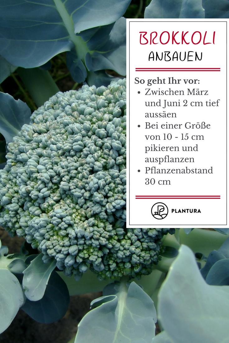 Brokkoli anbauen: Die grüne Kohlpflanze aus dem eigenen Garten #erhöhtepflanzbeete