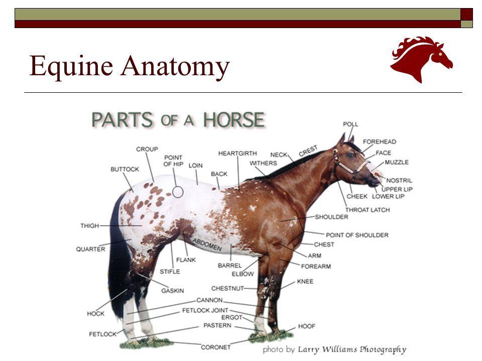 Equine Anatomy - www.anatomynote.com | Anatomy note world ...