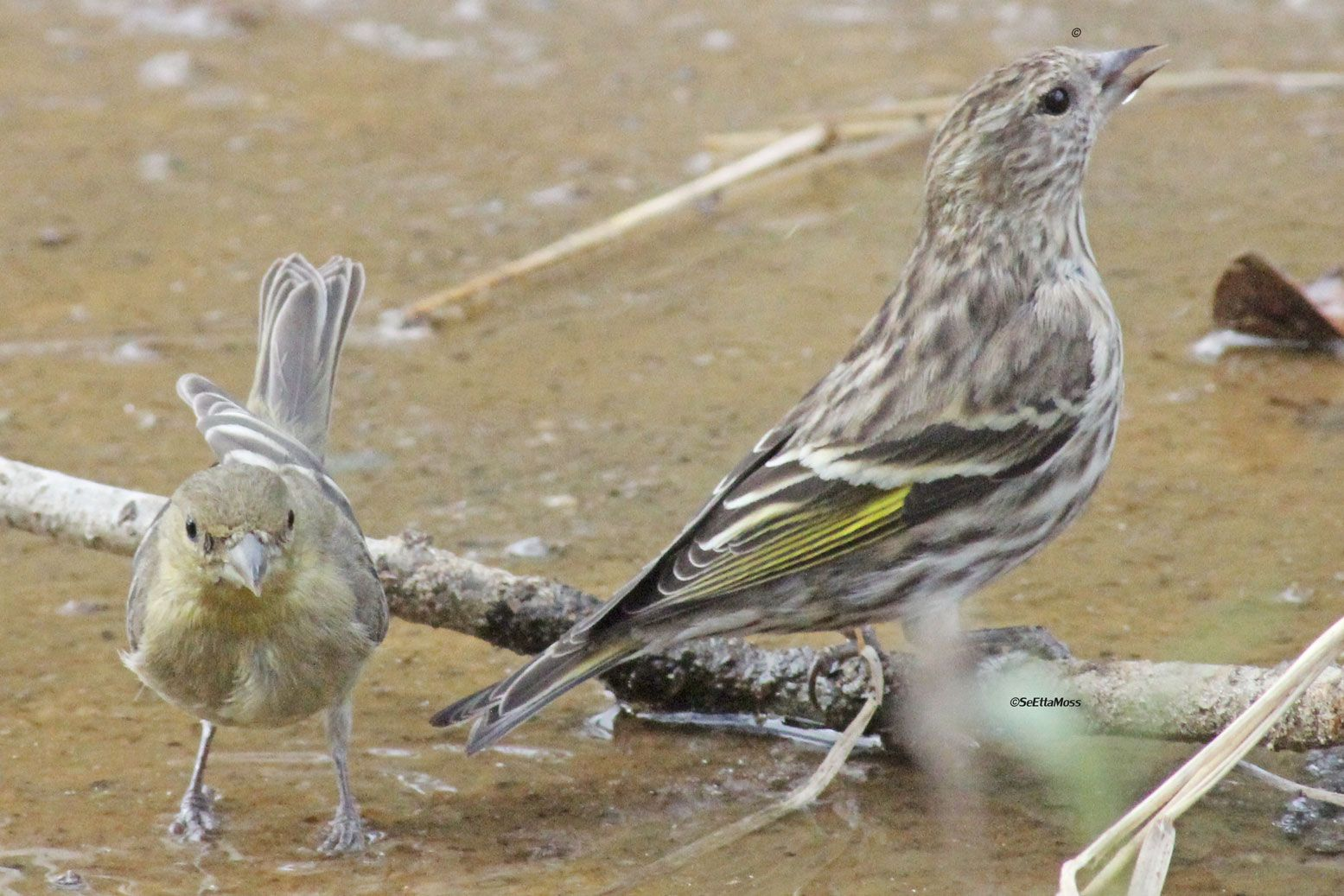 Pine Siskin Pictures