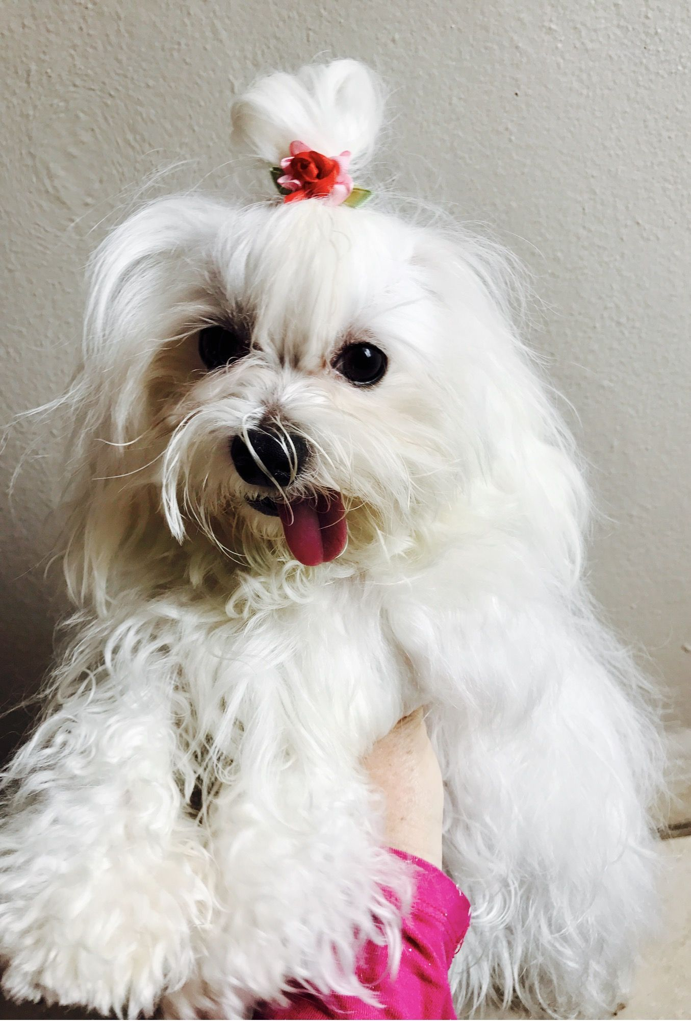 Pin By Sasha Maltese Toy On Sasha Maltese Toy Animals Maltese Dogs