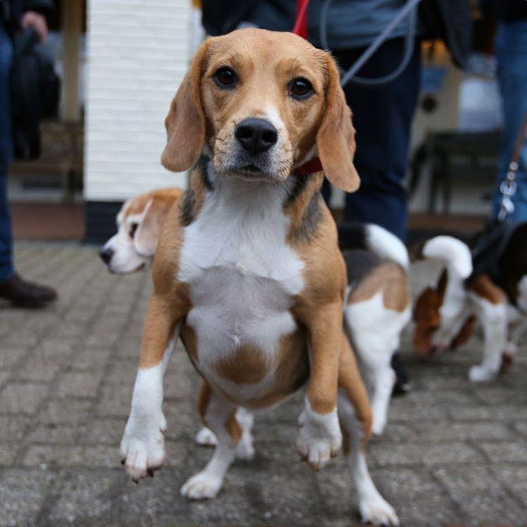 Amazing Beagle Its A Wonderful Life Grumpy