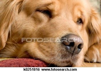 Beautiful Golden Retriever View Large Photo Image Golden Retriever Retriever Dogs