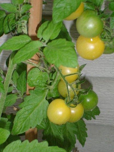 Growing Lemon Drop Tomato Plants Lemon Plant Cherry Plant Tomato