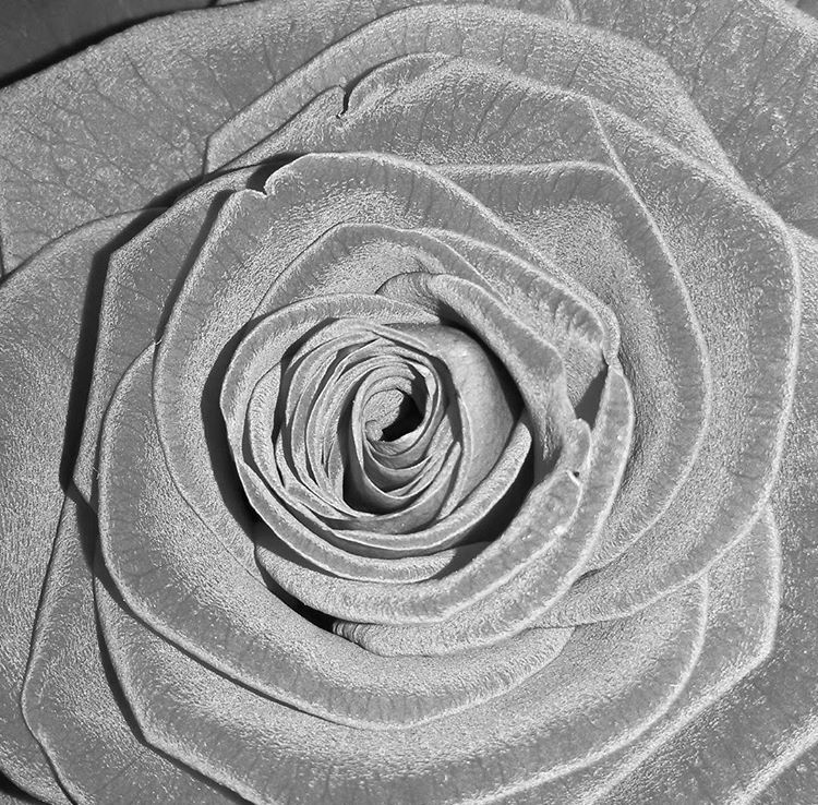 Fluffy black rose @readox