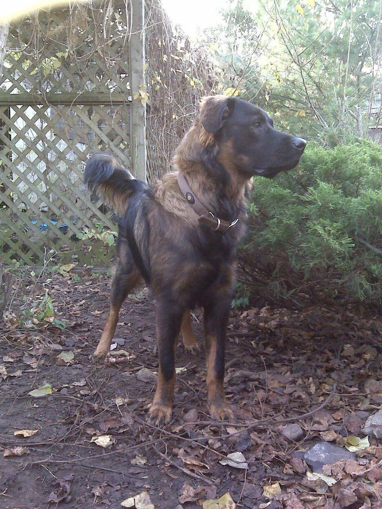 Rot x Irish Wolfhound