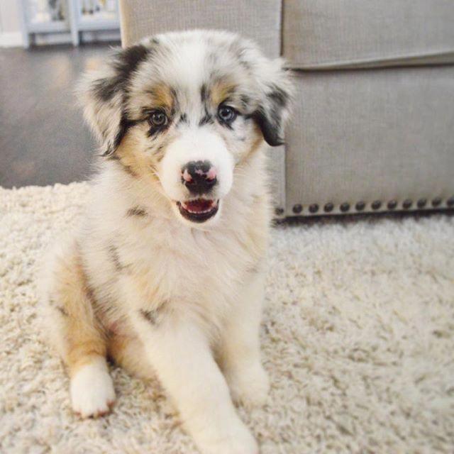 Australian Shepherd Puppy Blue Merle Blue Eyes Australianshepherd