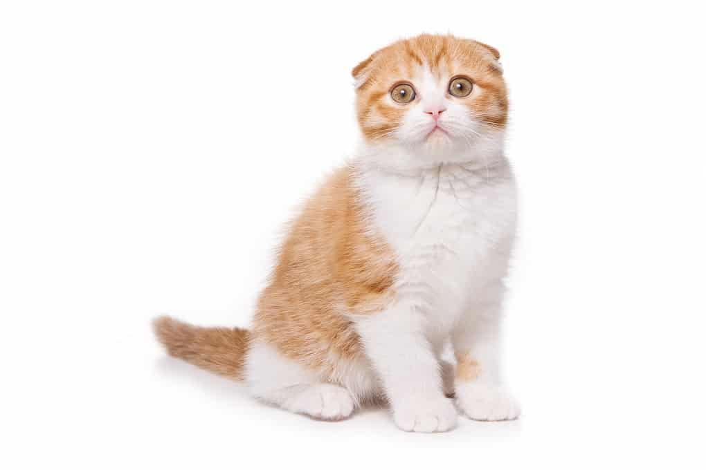 Scottish Fold The Ultimate Guide To Their History Types Characteristics Temperament And Care A Cat Breeds Blog Cat Scottish Fold Munchkin Cat Scottish Fold Scottish Fold