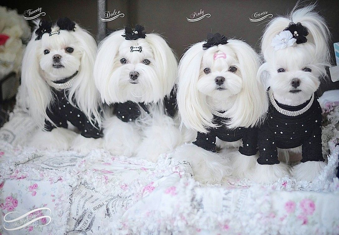 Image Result For Maltese Hairstyles Maltese Dogs Haircuts