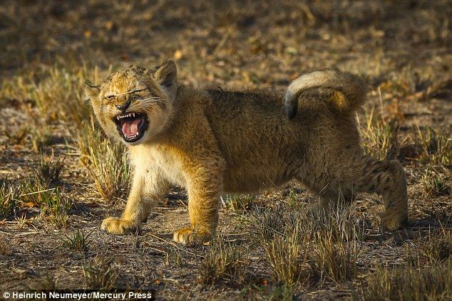 Many said the young cub testing out his voice reminded them of Simba, the young cub in the Disney film the Lion King
