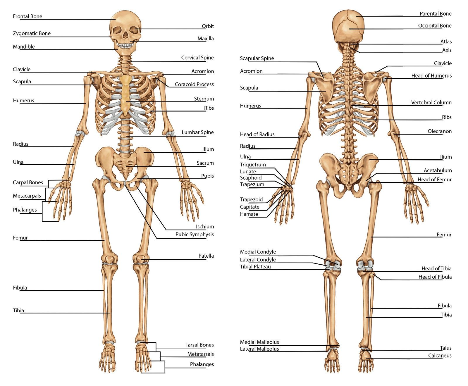 Anatomy Of The Bones In Your Body Skeleton Bones Human Skeleton ...