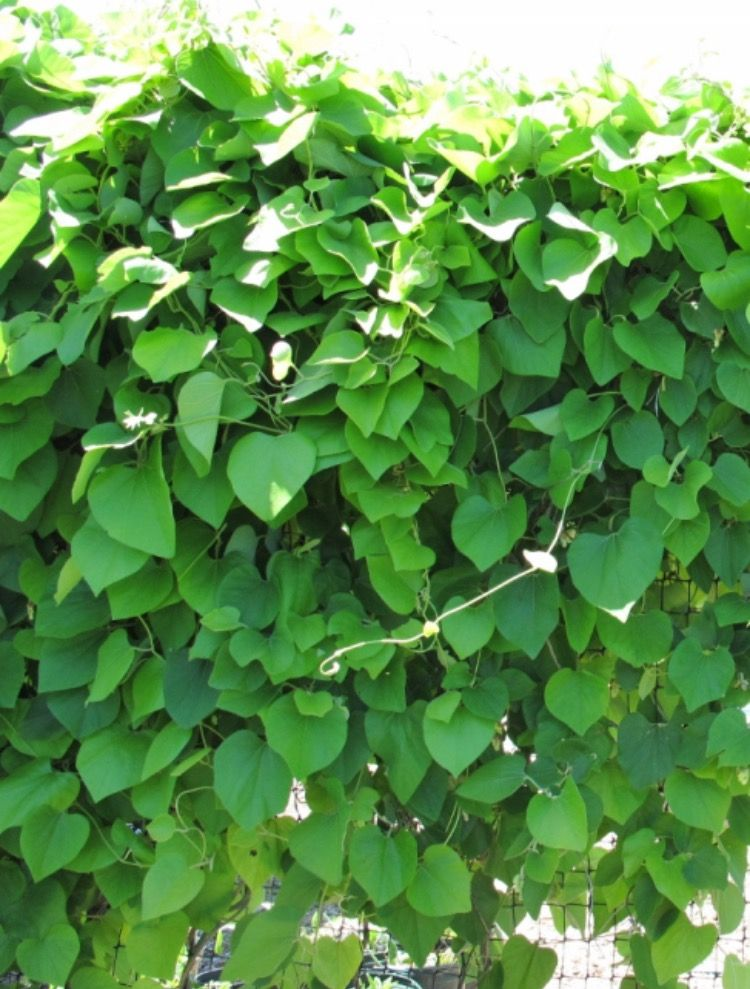 Wooly Pipevine (Aristolochia tomentosa) — Host plant for