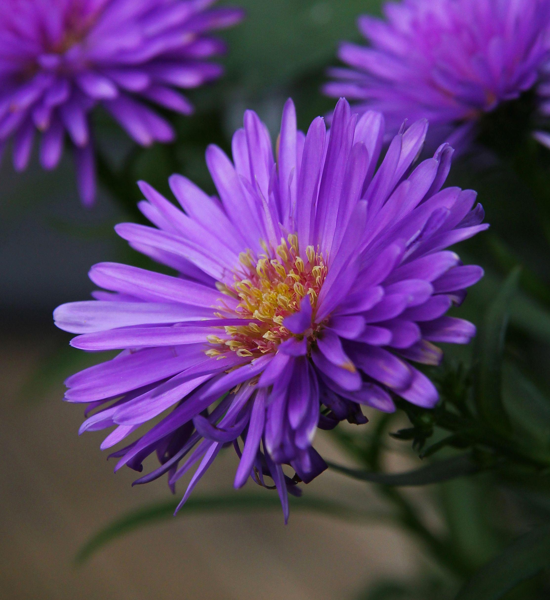 Purple Aster flowers Aster flower, Aster flower tattoos