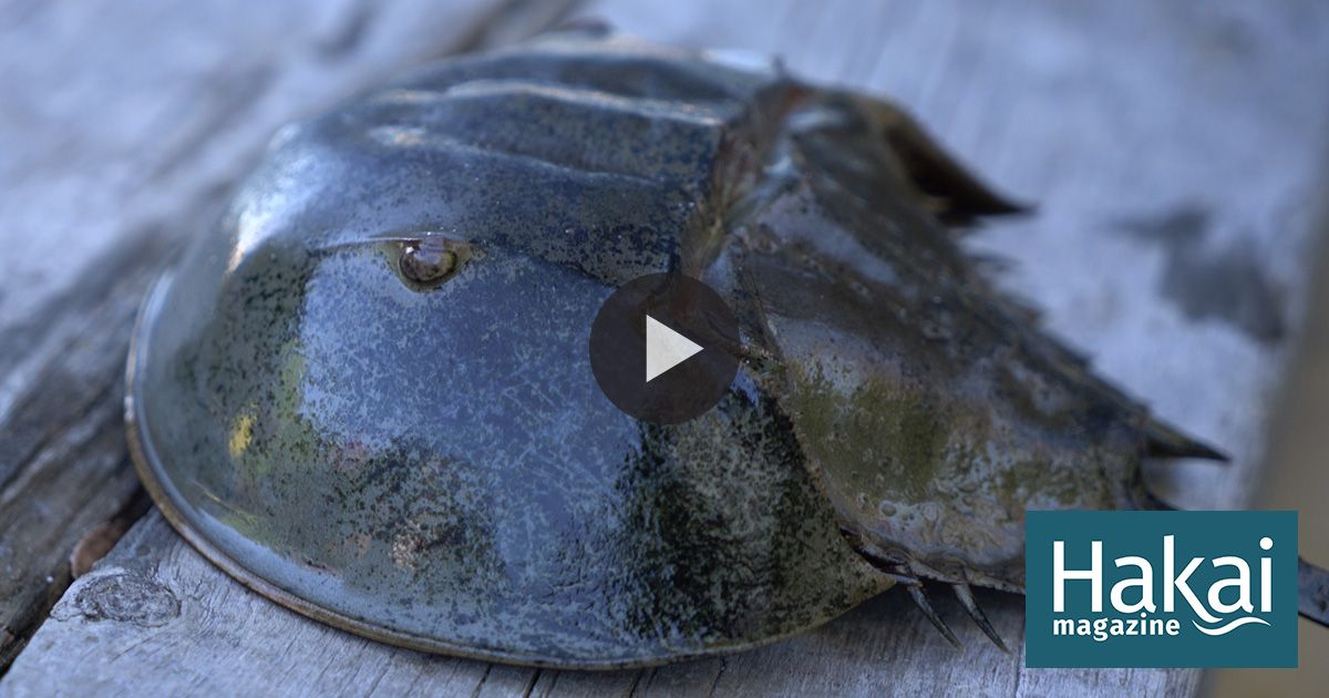 Horseshoe crabs have been saving our species—are we endangering theirs?