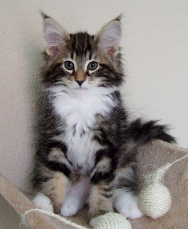 Norsk Skogskatt Cute Cats And Kittens Cats And Kittens Norwegian Forest Cat