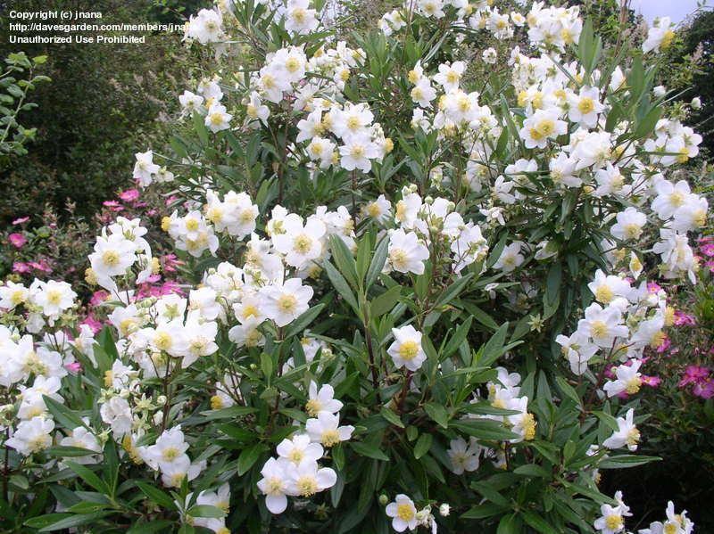 Tavolone carpenteria ~ Carpenteria californica bush anemone this is the bush again in