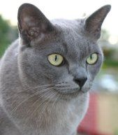 Blue Burmese In 2020 Burmese Cat Cat Breeds Cats