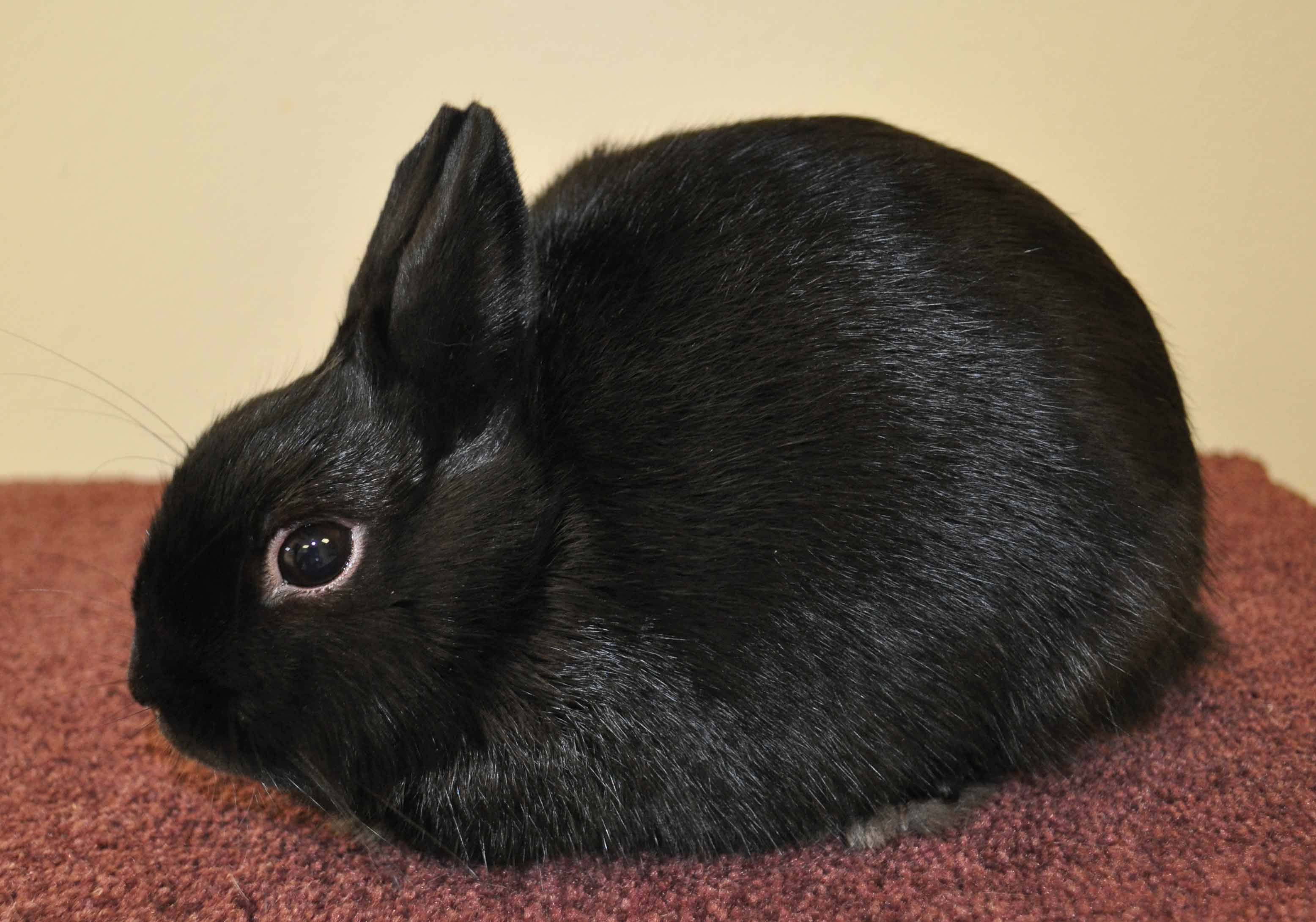 photo How to Care for a Polish Rabbit