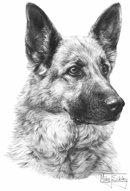German Shepherd sketch | Animal Portraiture | Pinterest ...