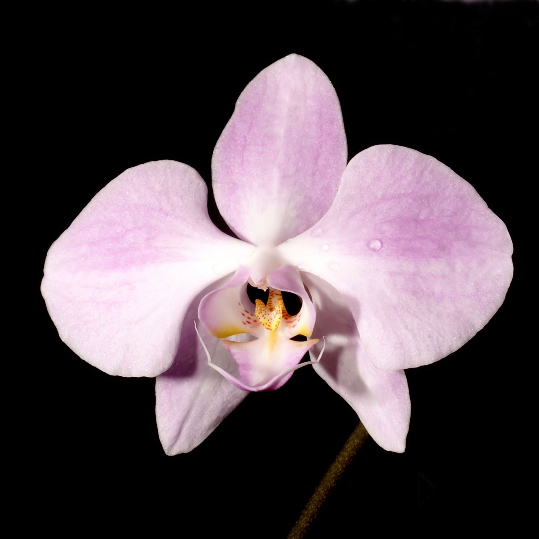 Phalaenopsis_sanderiana_Orchi_9914.jpg (1750×1750)