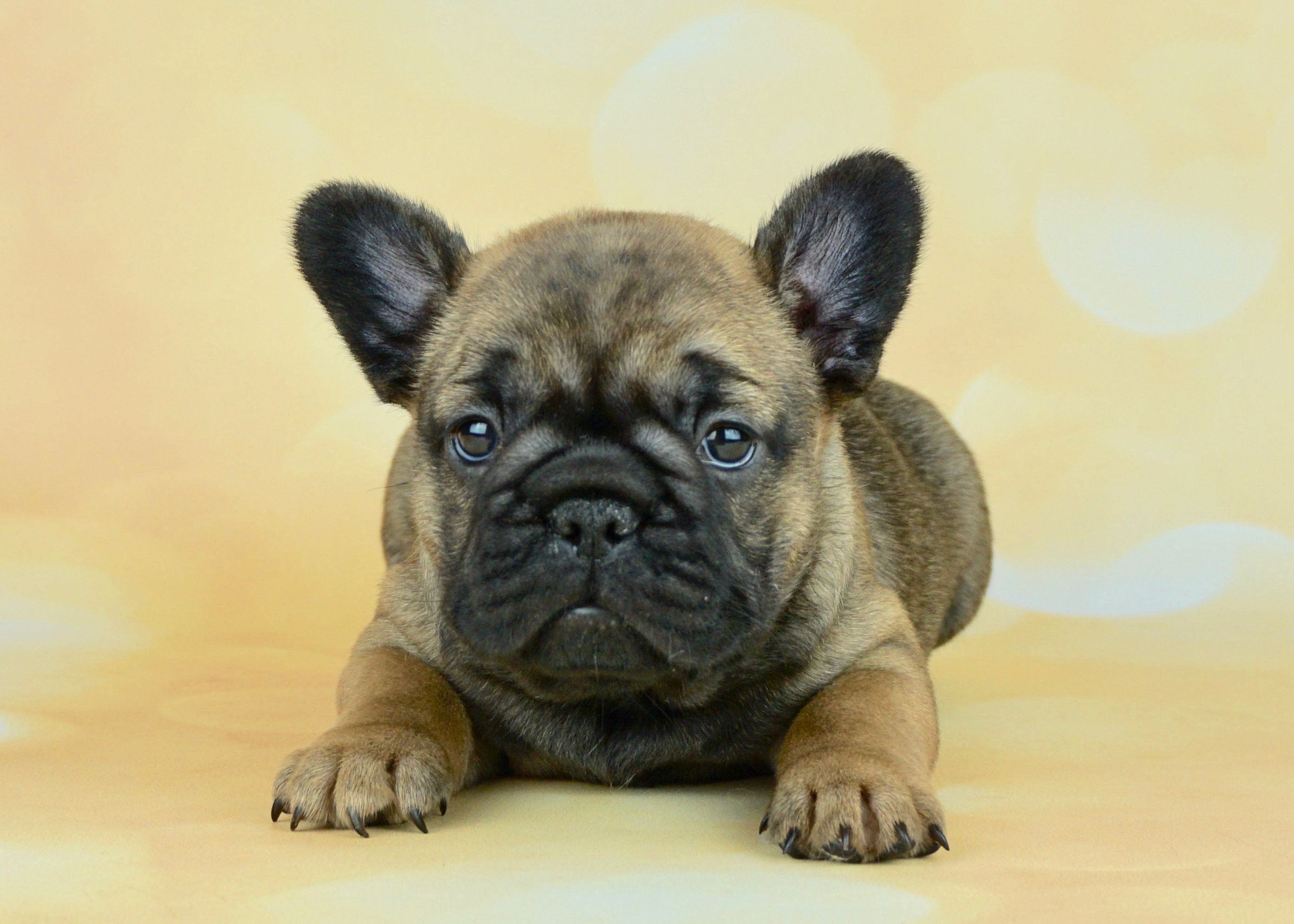 Pin By Robin Johnson On Must Love Dogs French Bulldog Puppies