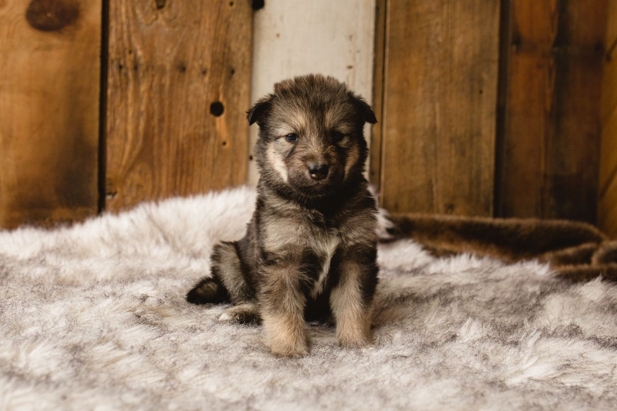 Flower A Female Wolf Malamute Hybrid Puppy For Sale In Evergreen