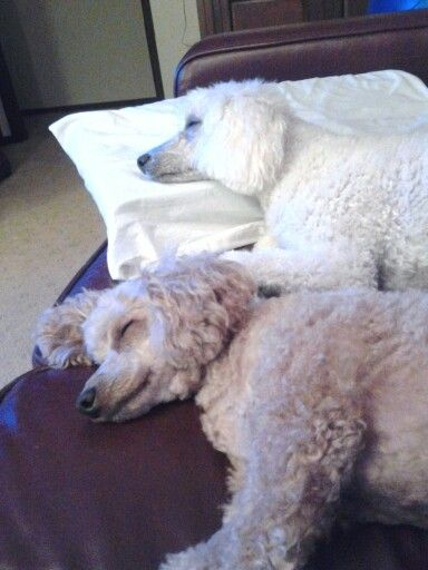 Two Very Tied Girls After Chasing Birds And Possums At Our Holiday House For Three Day None Were Caught The Fun Is In T Poodle Grooming Standard Poodle Poodle