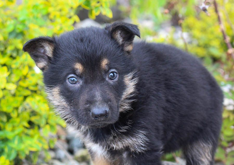 Jake Male Akc German Shepherd Pup For Sale Near Fort Wayne
