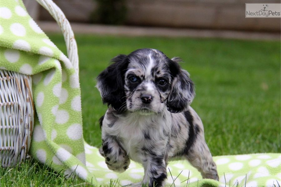 Patch Cocker Spaniel Spaniel Puppies For Sale Puppies Cute Puppies