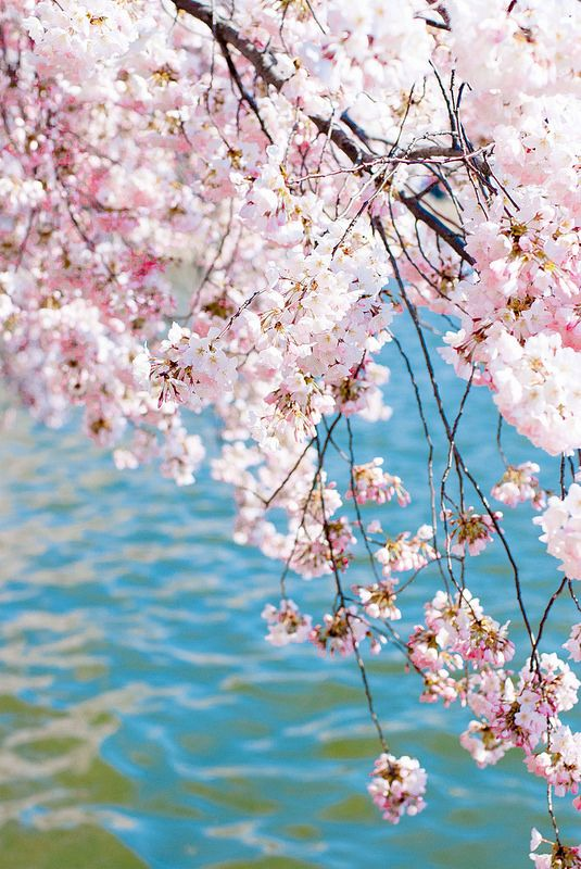 Cherry Blossoms Beautiful Flowers Blossom Trees Cherry Blossom