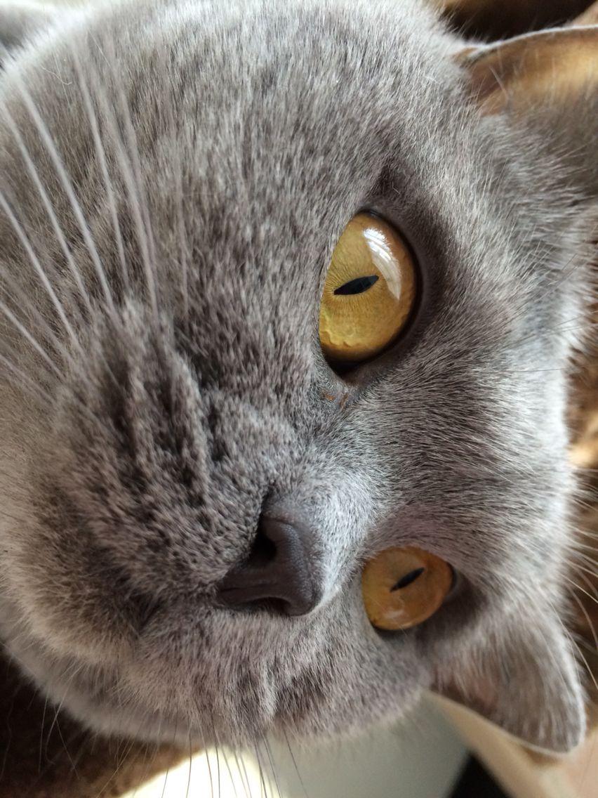 British shorthair British shorthair cats, British
