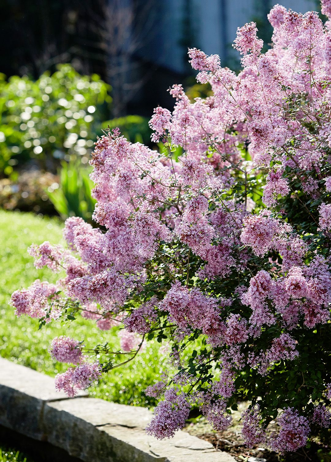 Meet The Bloomerang A Lilac That Blossoms Twice Each Season Lilac Gardening Bloomerang Lilac Flower Landscape