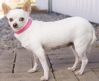 Petango Com Meet Ivory A 7 Years 6 Months Chihuahua Short Coat