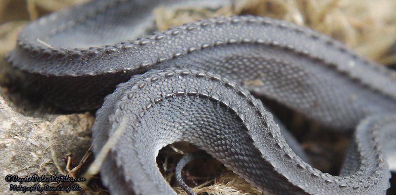 「ドラゴンスネーク(Xenodermus javanicus)」。タイ、ミャンマー、インドネシアなど東南アジアに生息している蛇。ミツウロコヘビとも呼ばれています。夜行性で行動様式は謎に包まれており、蛙を餌にしています。書肆ゲンシシャでは世界の珍しい生き物に関する本を扱っています。 https://t.co/obxQaaeHP4
