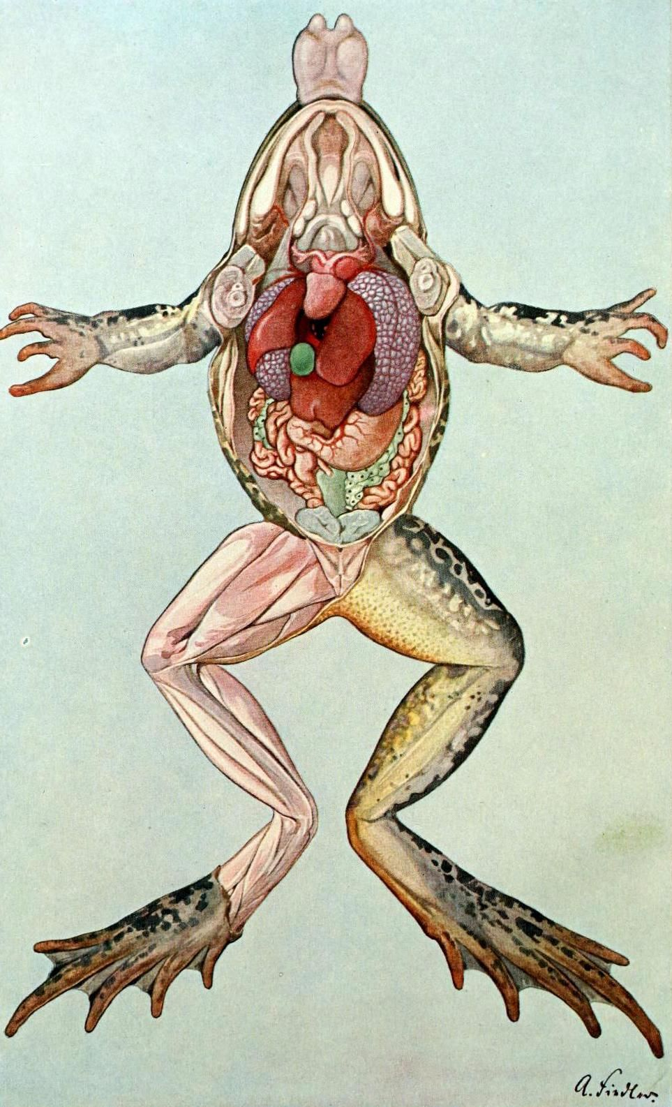 "biomedicalephemera: "" Leopard Frog - Rana spp. - Internal Anatomy ..."