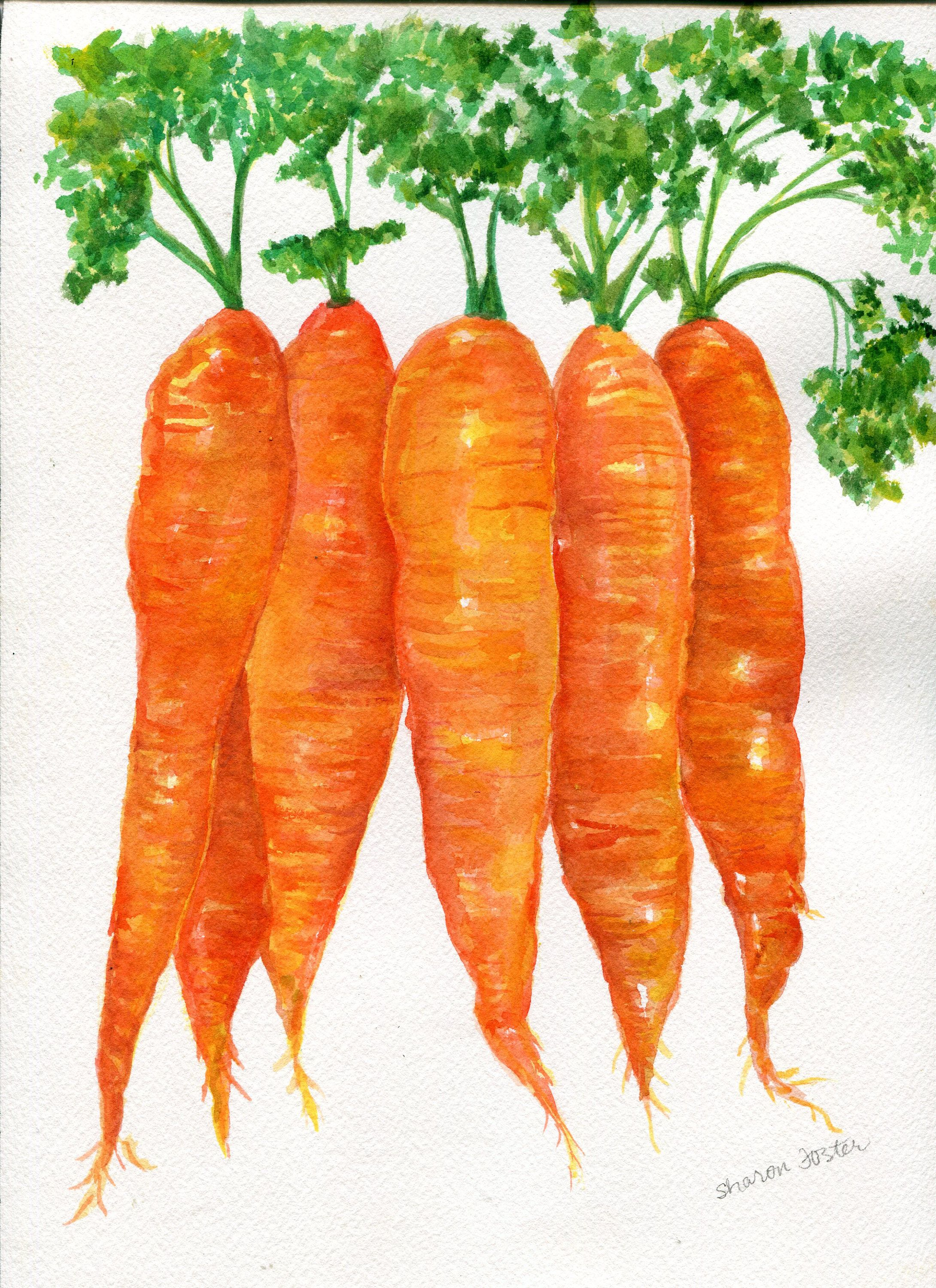 Rainbow Carrots Watercolor Vegetable Painting Rainbow Carrots