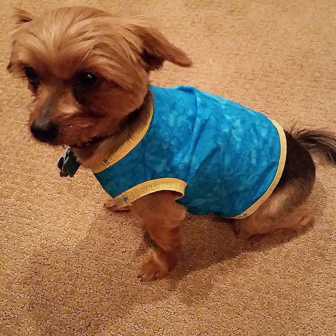 Atlantis/El Dorado inspired summer shirt for my little guy ;) #sewing #homemade #doityourself #diy #dogclothes #dogshirt #blueandgold #eldorado #eldoradoinspiration #atlantisvibes #greeceinspiration #atlantisinspiration #mymodel #yorkshireterrier #yorkie #furrycouture #customdogclothes by blinki113 #lacyandpaws