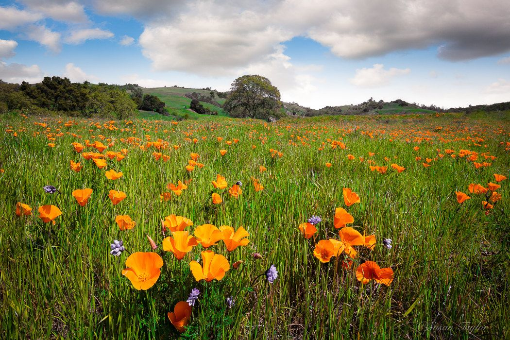 California Poppies, Mt Diablo State Park Print, Bay Area Photo ...