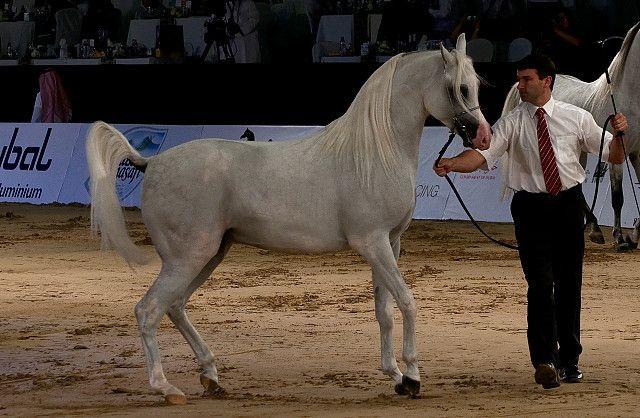 Arabian Horse Beauty