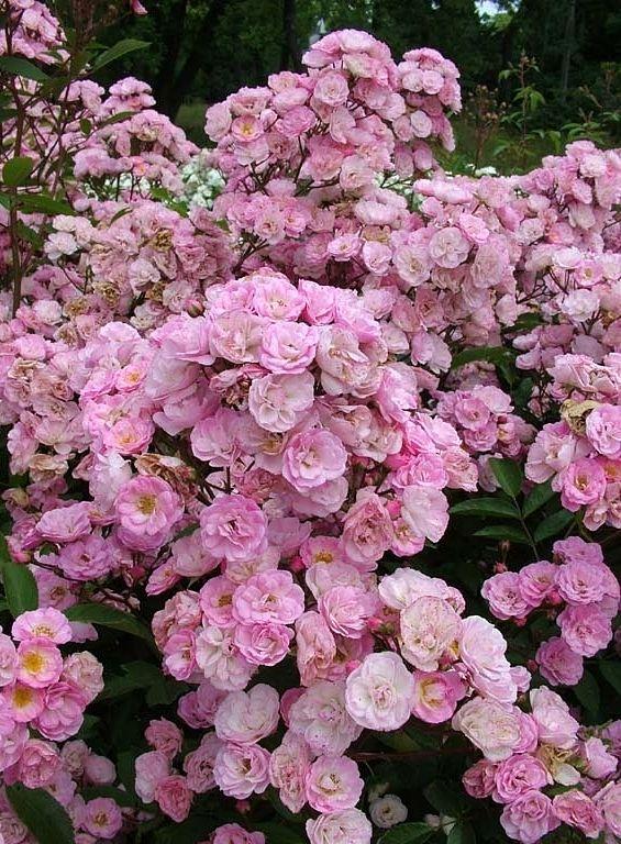 'Heavenly Pink' - Lens (1997). Elegante, dubbele, geurende en zeer kleurvaste roosjes (3-4cm) in trossen. Uitstekend als snijbloem. Haagplant. Perfect gezond. H 60-80 cm.