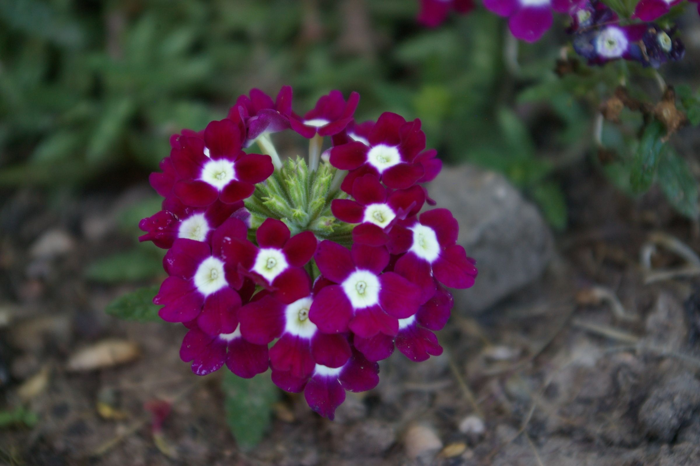 A Flower With Small Purple Flowers With White In The Middle