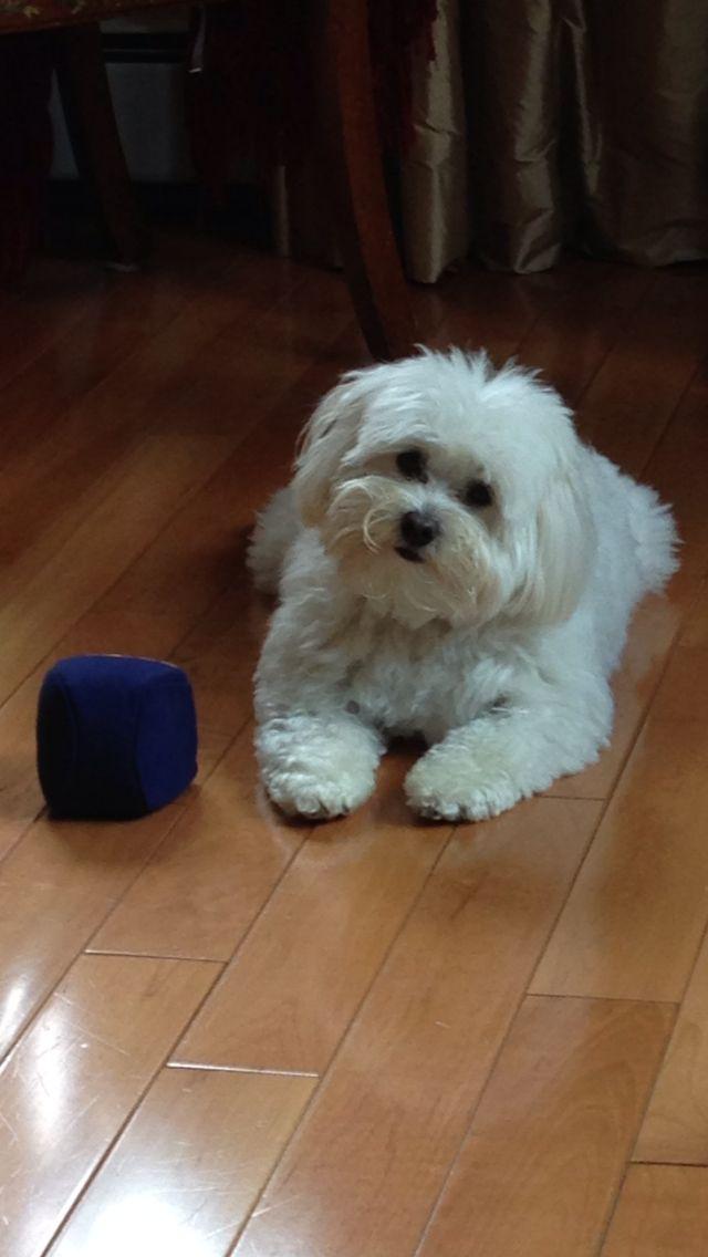 Coton De Tulear Mia Malteser Hund Havaneser Susse Tiere