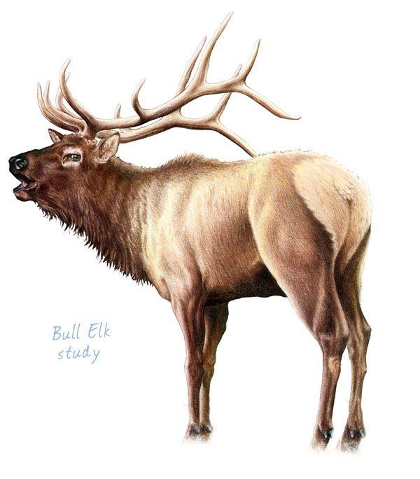 Pencil Drawings of Bull Elk | Bull Elk | Pencil Drawings ...