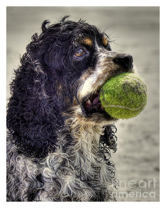 I'm Ready To Play by Benanne Stiens White cocker spaniel
