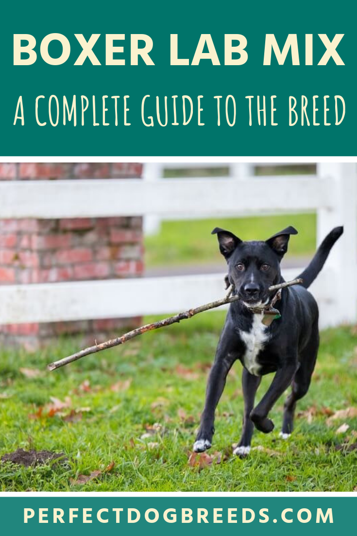 The Boxer Lab Mix Also Referred To As The Boxador Is A Cross Between Two Of The Most Popular Dog Breeds An Intelligent And Boxer Lab Mixes Boxer Lab Lab Mix