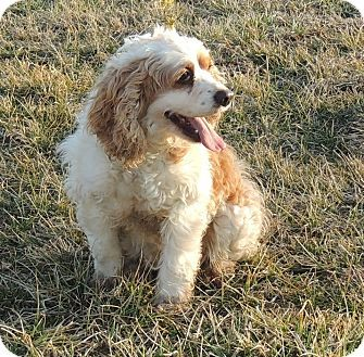 Sullivan, MO - Cocker Spaniel Mix. Meet Spring, a dog for adoption. http://www.adoptapet.com/pet/12566992-sullivan-missouri-cocker-spaniel-mix
