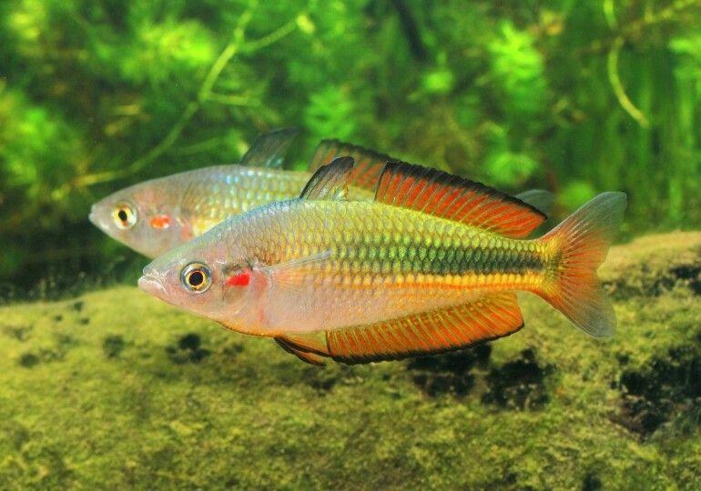 Melanotaenia Duboulayi Crimson Spotted Rainbowfish Rainbow Fish Aquarium Fish Betta Fish