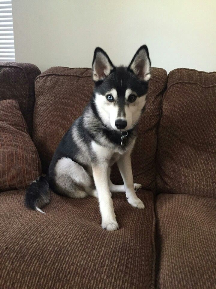 Husky Like Dog Beginning With S