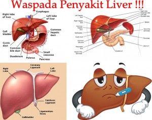 Liver adalah organ penting yang punya lebih dari 500 ...